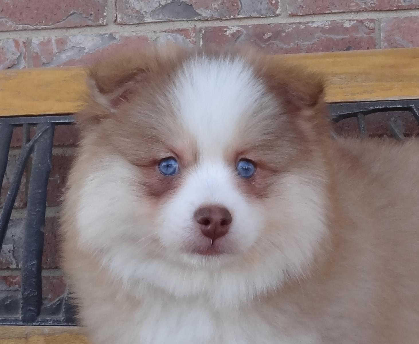 Corner What Is A Spitz Type Pomsky Shiba Inu Pomeranian Mix Price Shiba Inu Pomeranian Mix Info bark post Shiba Inu Pomeranian Mix