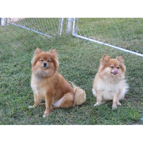 Medium Crop Of Pomeranian Corgi Mix