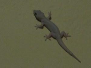 Les geckos claquent de la bouche (Christine Gagnon)