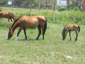 Les chevaux sauvages de Samara (Christine Gagnon)