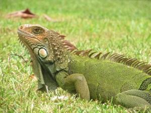Des iguanes, il y en a partout! (Christine Gagnon)