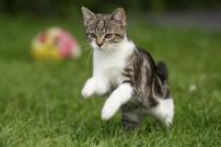 Young cat playing and jumping in the grass outside