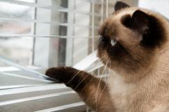 Fluffy cat looking out the window with his paw on the blinds