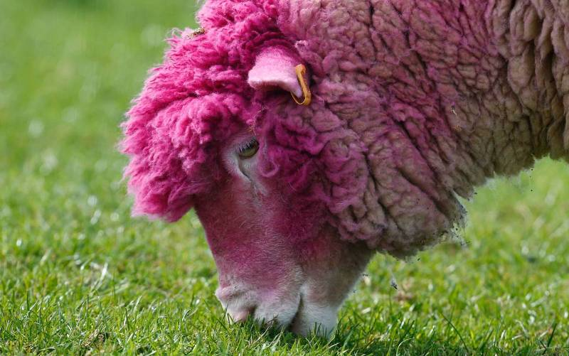 Розовая овца.