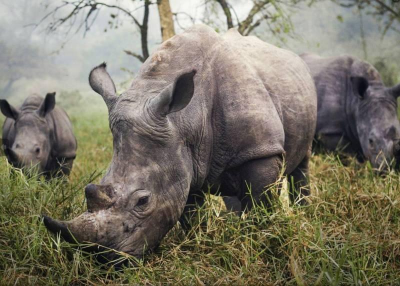 """Белые носороги"". Stefane Berube."