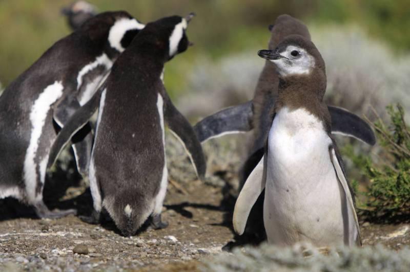 Магеллановы пингвины фото