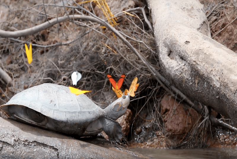 Бабочки и черепахи. Черепахи красивое фото