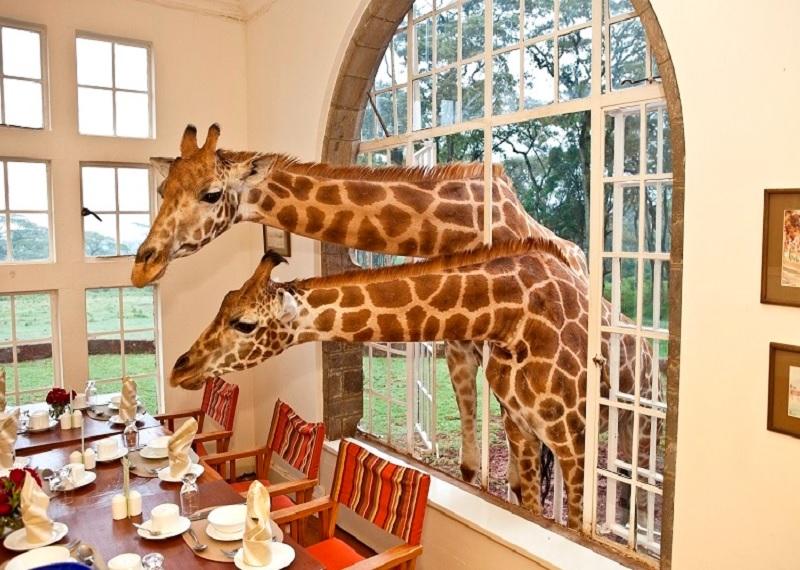 необычные отели, отель с жирафами в Кении