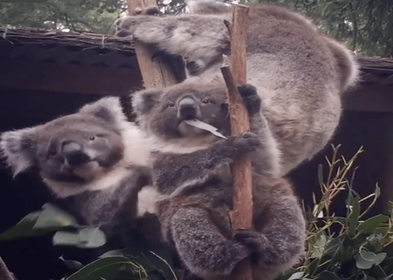 Австралийские коалы.