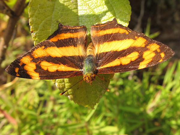 Common Jester in Nepal