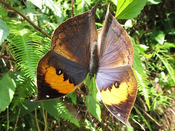 wings spread out of Orange Oakleaf Butterfly