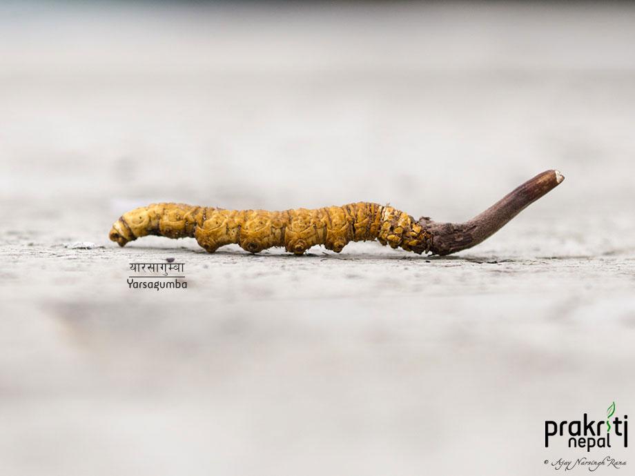 Yarsagumba_Cordyceps sinesis