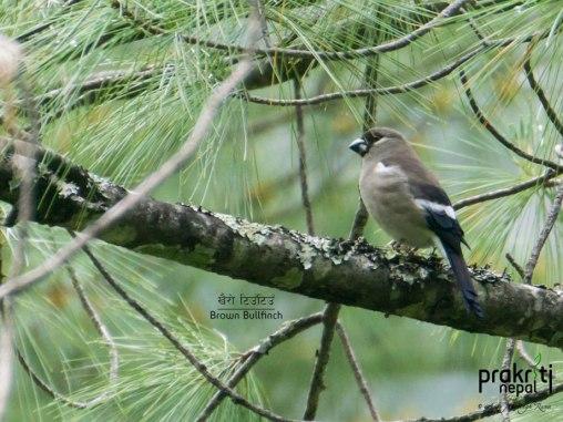 Brown Bullfinch_Pyrrhula nipalensis