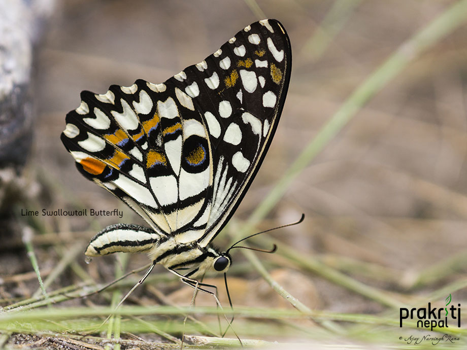 Lime Swallowtail Butterfly_Papilio demoleus
