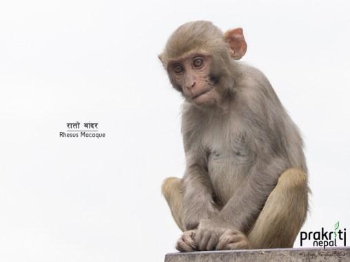rhesus-macaque baby