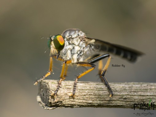 Robber-fly
