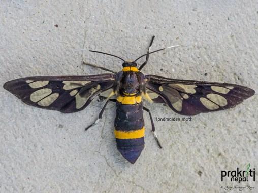 Handmaiden-moth