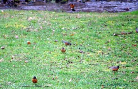 Robins 4