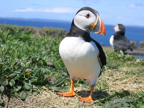 Puffin – The clown of sea