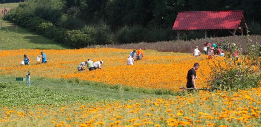 Najpierw było zbieranie ziół dziko rosnących, później już ich uprawa. Na zdjęciu pole nagietków