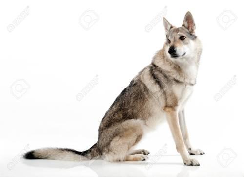 Medium Of German Shepherd Wolf Hybrid