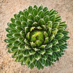 Small Crop Of Agave Victoriae Reginae