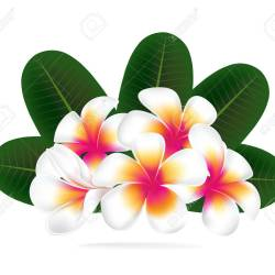 Illustration Vector of Hawaii Flower Frangipani White Plumeria