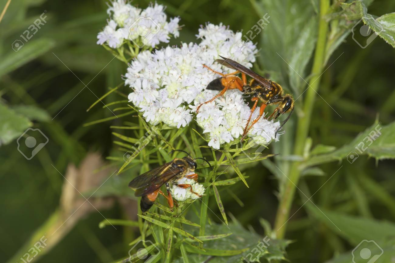 Fullsize Of Great Golden Digger Wasp