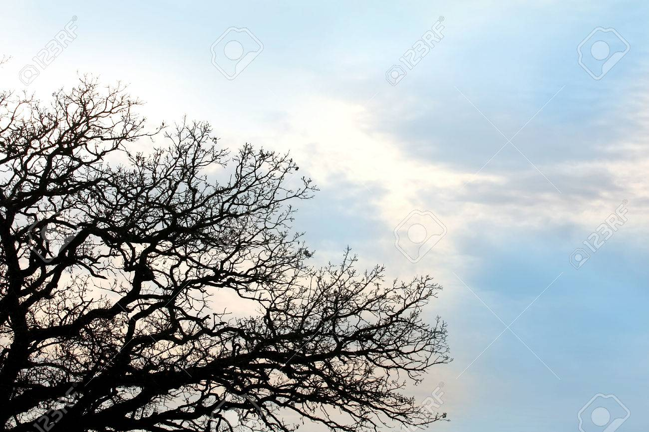 Exquisite Silhouette Bare Burr Oak Tree Branches Against A Background Blue Skystock Photo Silhouette Bare Burr Oak Tree Branches Against A Background Burr Oak Tree Mcbaine Mo Burr Oak Tree Leaf houzz-03 Burr Oak Tree
