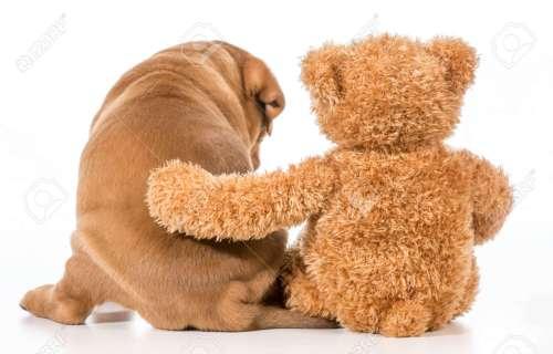 Medium Of Teddy Bear Dog