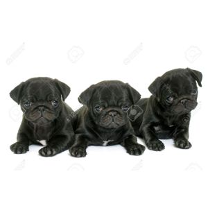 Particular Background Stock Photo Puppies Black Pug Front Sale Illinois