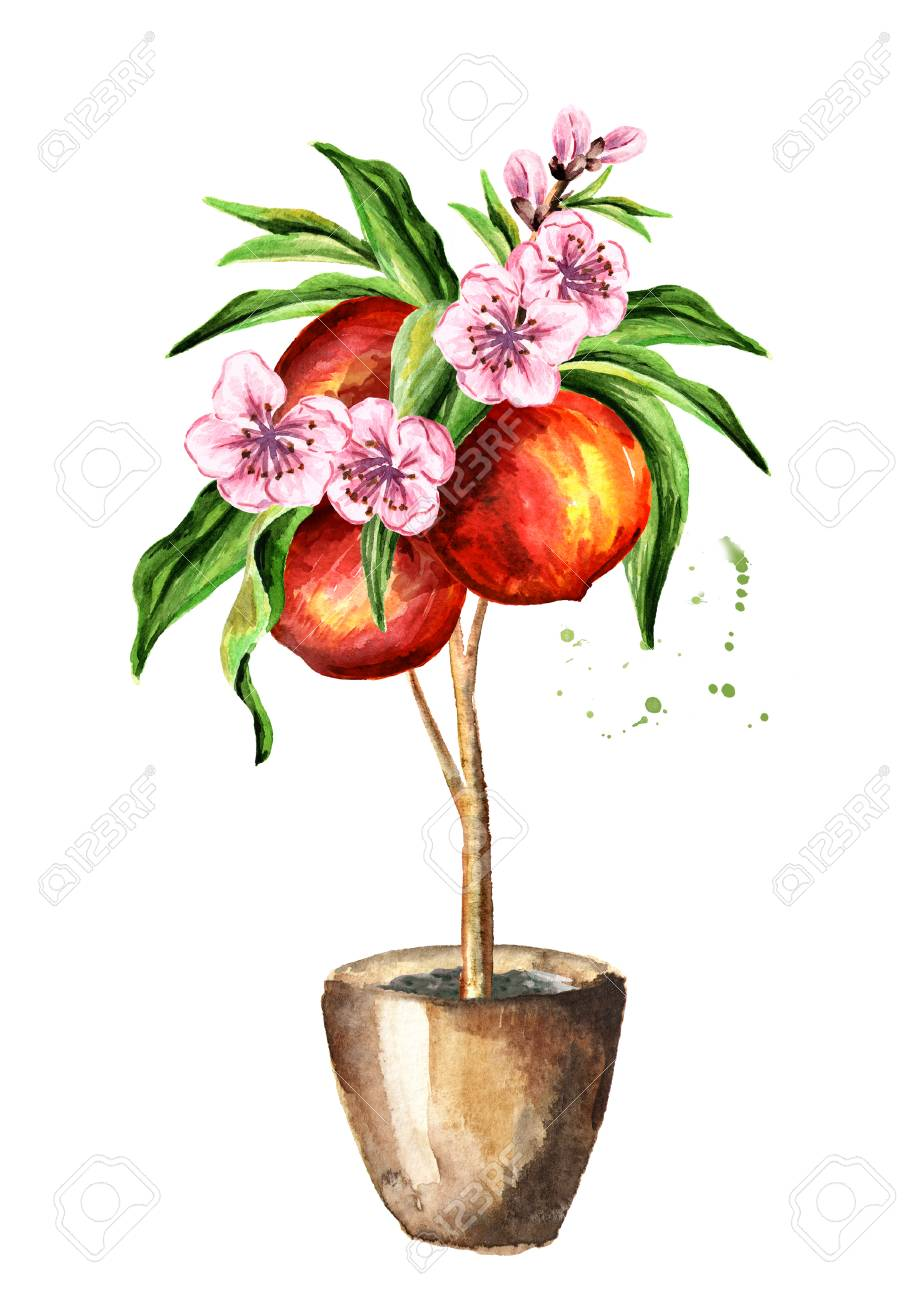 Graceful Watercolor Hand Drawnvertical Isolated On Background Peach Tree Watercolor Hand Drawn Vertical Fruit Fruit Illustration Peach Tree houzz 01 Peach Tree Leaves
