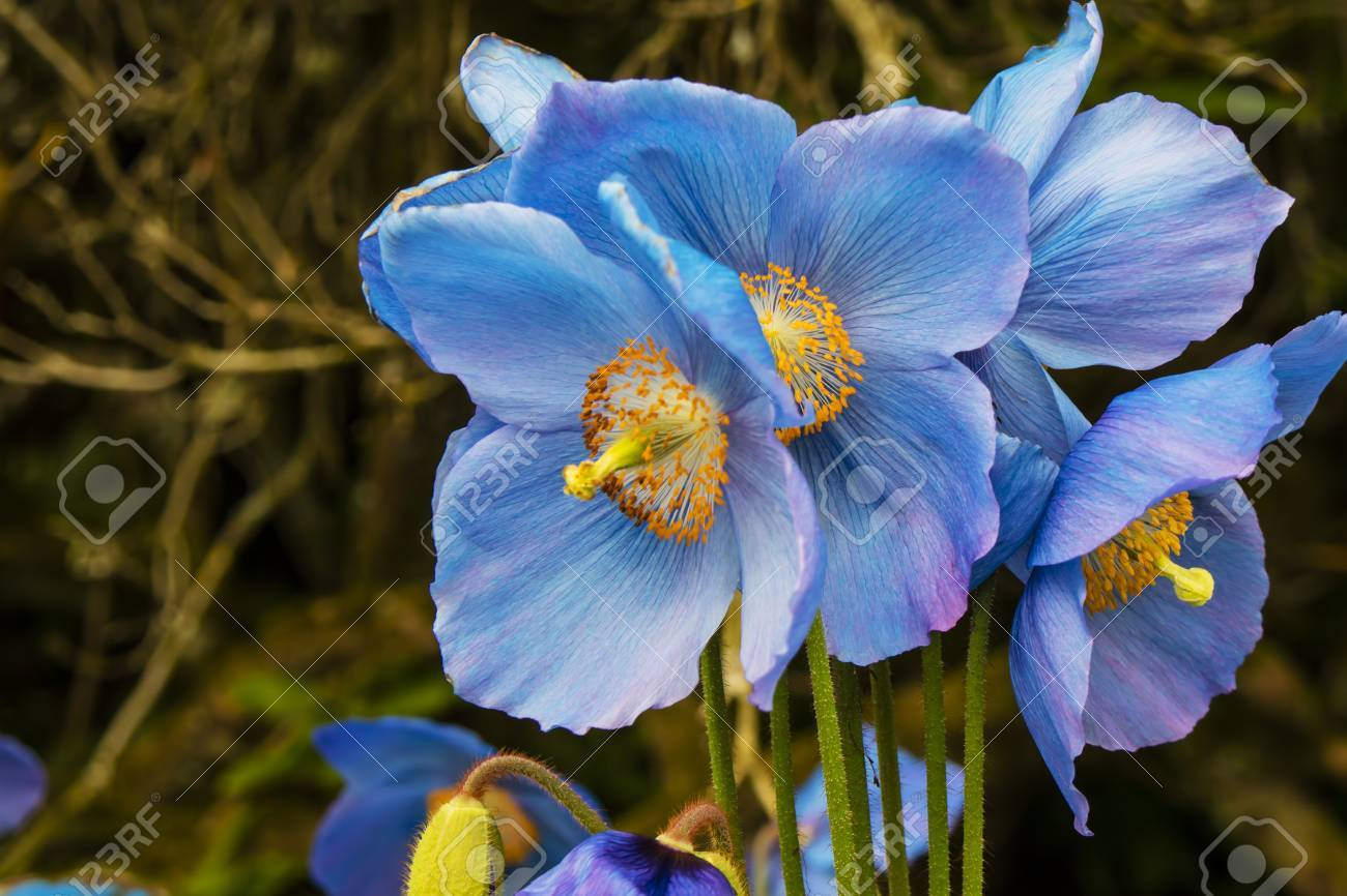 Formidable Meconopsis Himalayan Blue Poppy Stock Himalayan Blue Poppy Flower Meaning Himalayan Blue Poppy Zone Meconopsis Himalayan Blue Poppy Stock Photo Large Flowers Large Flowers houzz-03 Himalayan Blue Poppy