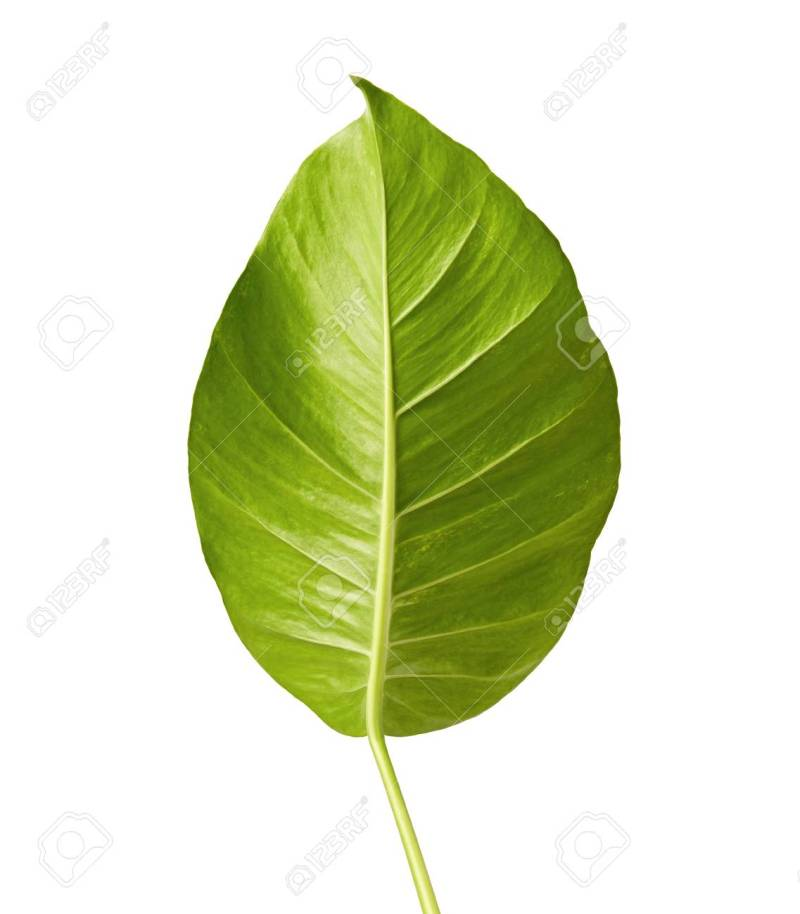 Large Of Heart Shaped Leaves