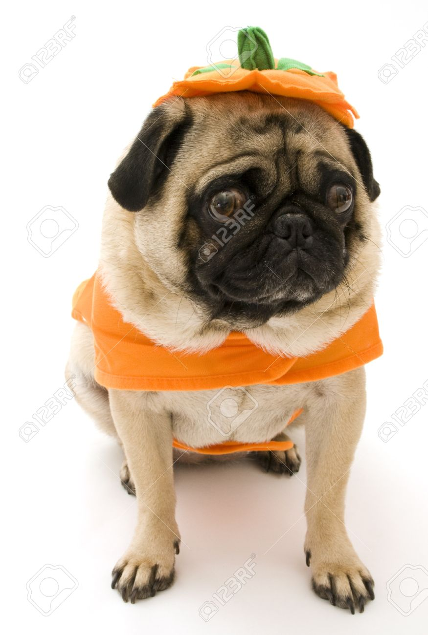 Charming Pug Pumpkin Costume Stock Superman Costume Pug Pumpkin Costume Stock Photo Pug Shark Costume Royalty Free Image Pug houzz-03 Pug In Costume