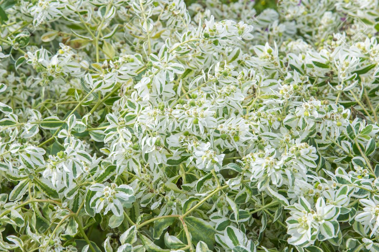Formidable Texture Euphorbia Marginata Commonly Known As Snow On Mountain Plant S Snow On Mountain Flowers Euphorbia Marginata Commonly Known As Or Margined Spurge Is A Small Annual houzz-03 Snow On The Mountain