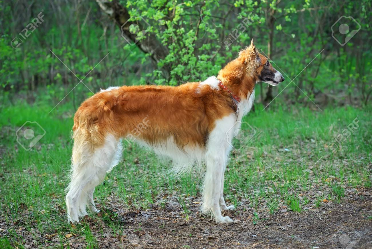 Admirable World Kmh World Breed Fastest Dog Wolves Fastest Dog 100456346 Russian Wolfhound Dog Borzoi Walk Sighthound Russkaya Psovaya Borzaya Psovi Hunter Killer bark post Fastest Dog In The World