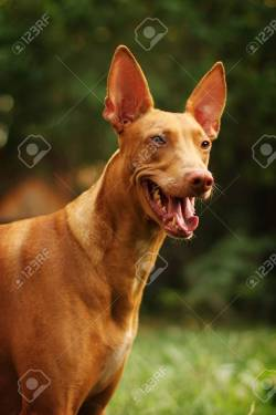 Nice Breed Pharaoh Hound Summer Outdoors Portrait Closeup Stock Red Dog Breed Pharaoh Hound Summer Outdoors Portrait Closeup Red Hunting Dog Breeds Red Coat Dog Breeds Red Dog