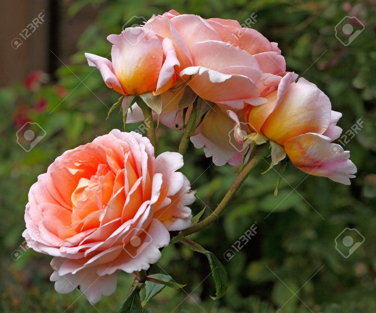 Cosmopolitan Can Grow Up To About Five Feet Abraham Darby Rose Has Blooms That Have Shades Apricot Stock Photo Abraham Darby Rose Has Blooms That Have Shades And Yellow houzz-02 Abraham Darby Rose