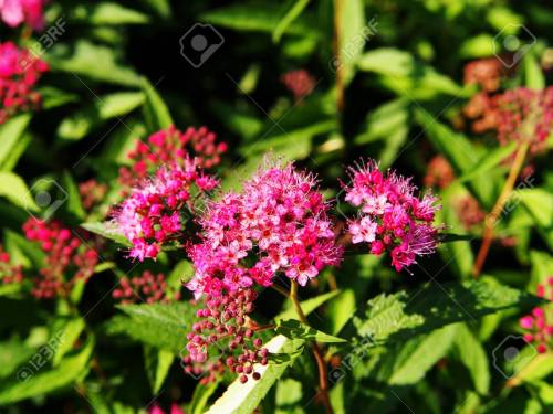 Medium Of Anthony Waterer Spirea