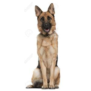 Enchanting German Months Sitting Background Stockphoto German Months Sitting Background German Shepherd Sitting Down German Shepherd Sitting On Couch Front Front