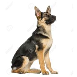 Small Crop Of German Shepherd Sitting