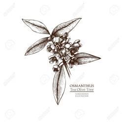 Small Crop Of Tea Olive Tree