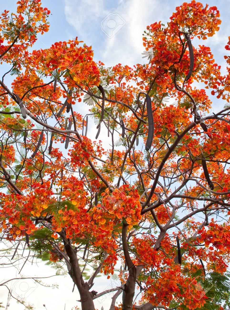 Peaceably Royal Poinciana Tree Hawaii Royal Poinciana Tree Bonsai Thailand Stock Thailand Stock Photo Royal Poinciana Tree Royal Poinciana Tree houzz 01 Royal Poinciana Tree