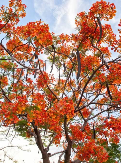 Peaceably Royal Poinciana Tree Hawaii Royal Poinciana Tree Bonsai Thailand Stock Thailand Stock Photo Royal Poinciana Tree Royal Poinciana Tree