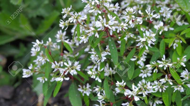 Large Of Small White Flowers