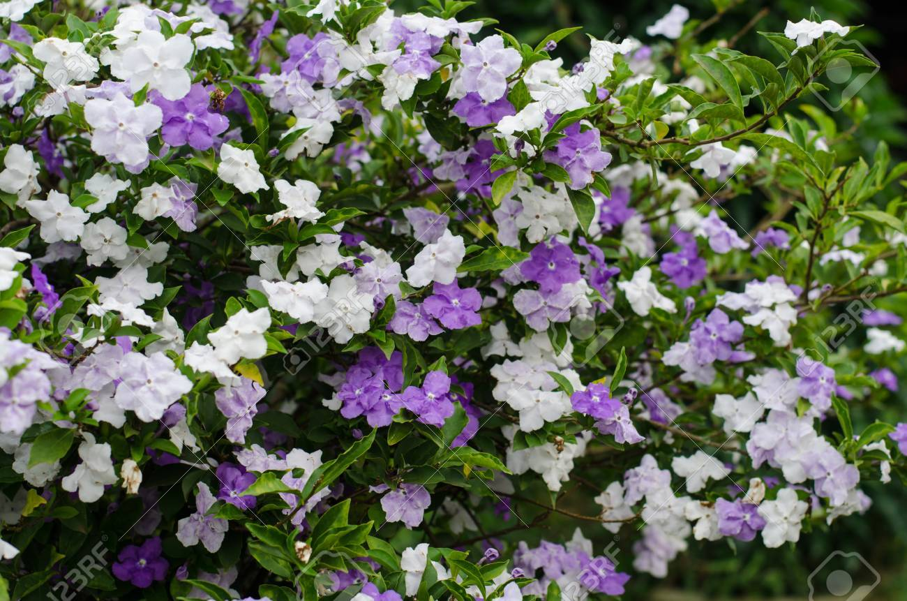 Fulgurant Tomorrow Plant Not Blooming Yesterday Today Sale Tomorrow Stock Yesterday Today Brunfelsia Australis Today Tomorrow Plant Tomorrow Stock Photo Brunfelsia Australis Today houzz 01 Yesterday Today And Tomorrow Plant