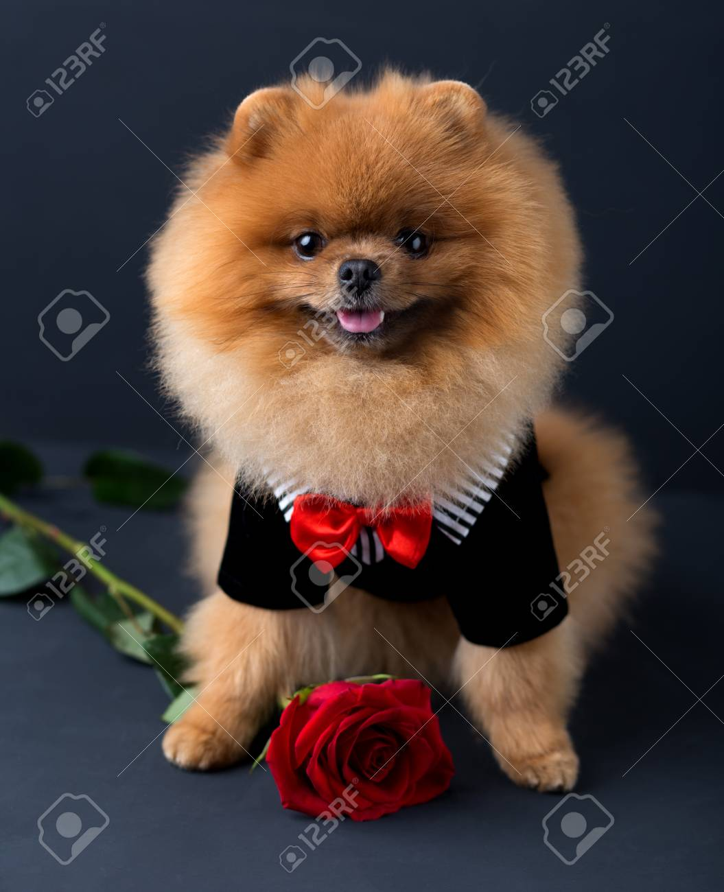 Cosmopolitan A Red Rose On Stock Dog A Suit A Suit Pomeranian Dog Suit Print Dog A Red Rose On Portrait Suit Portrait A Pomeranian Dog bark post Dog In Suit