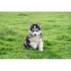 Small Crop Of Cute Husky Puppy