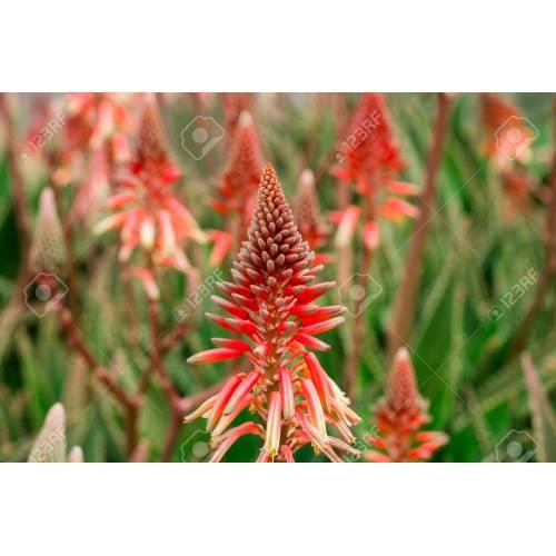 Medium Crop Of Aloe Vera Flower